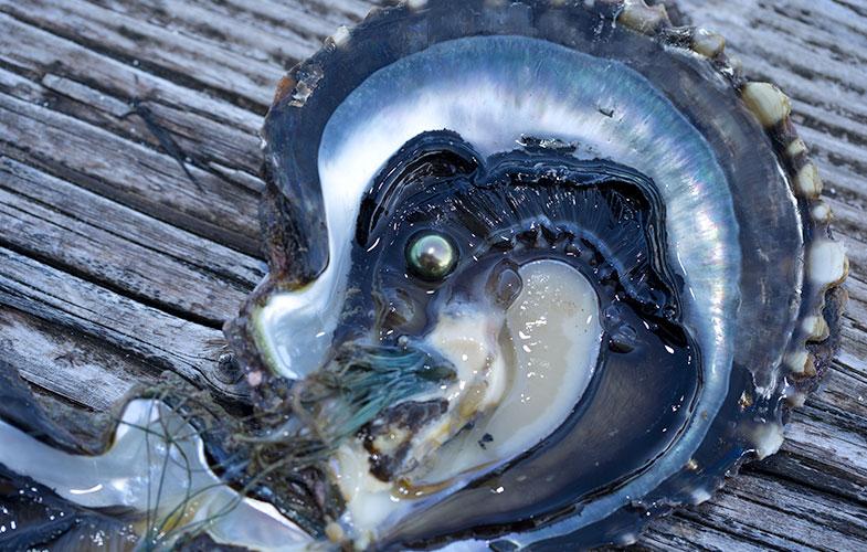 doorsnede tahiti parel oester